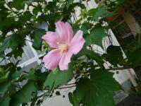校長室裏に咲いています。